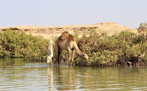 Velbloudi u Nilu