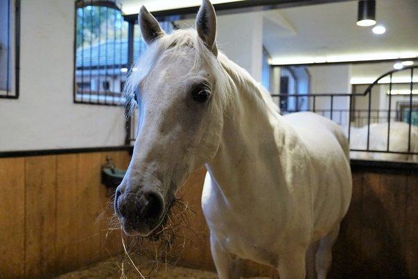 Koňské plemeno Lipicán ze Slovinska