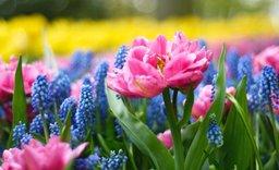 Keukenhof: Květinový park, kde vás bude přecházet zrak