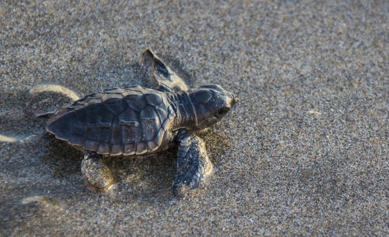 Tisíce ohrožených karet zelenavých se vrátilo hnízdit na pláže v Indii